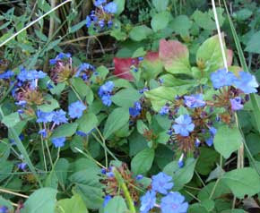 blue flowers of leadwort