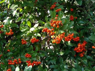 orange berries of firethorn