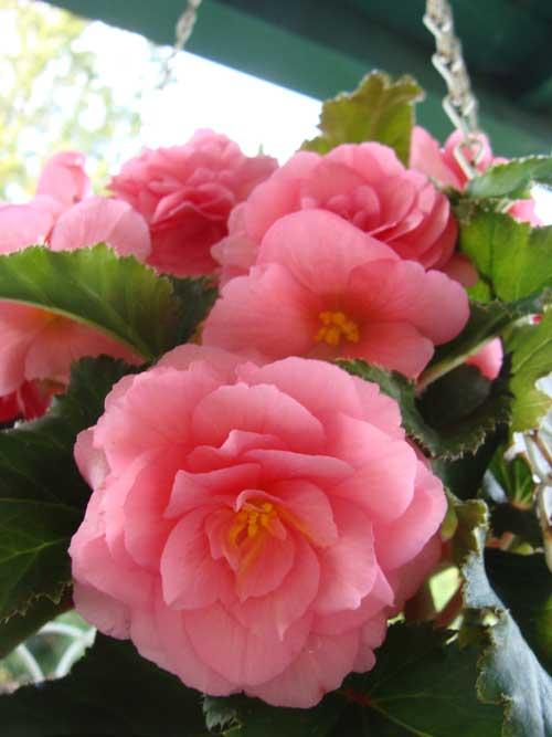 Flowering Hanging Planters
