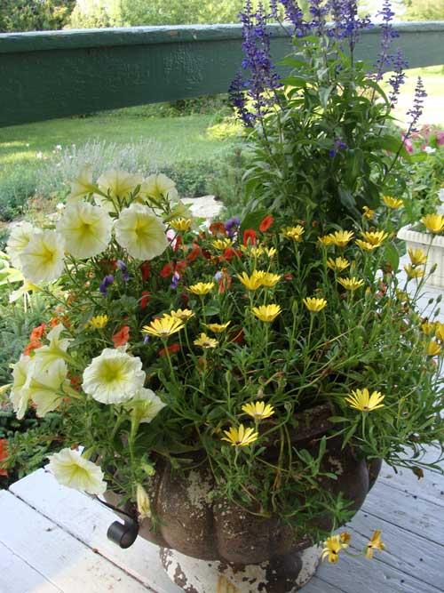 Annual Flowers in My 2008 Garden