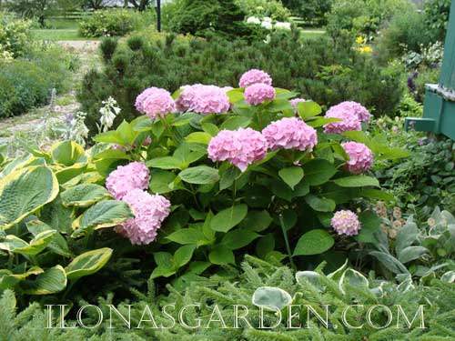 The mugo pine is located behind the hydrangea