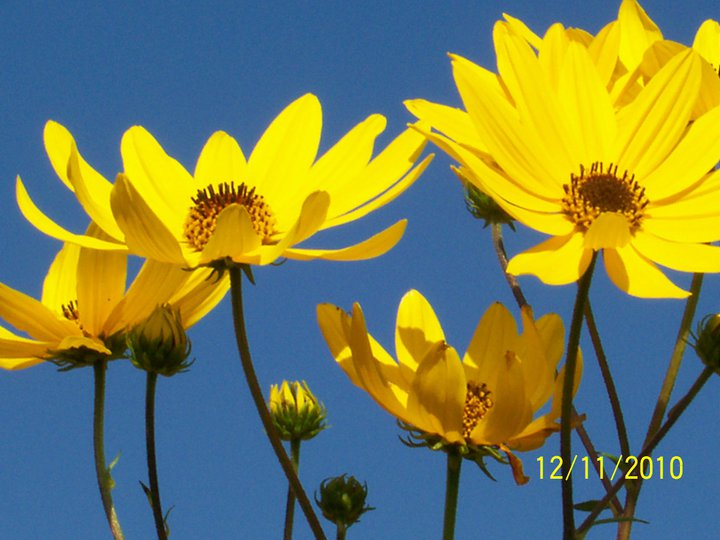 lapis sky / shocking yellow / heliopsis!
