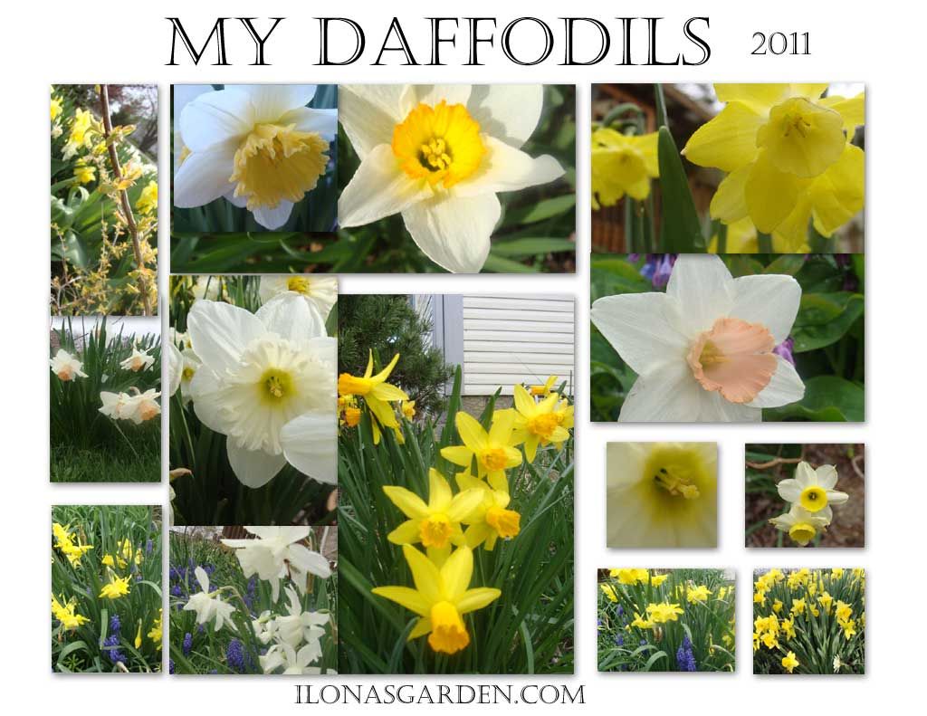 My Daffodils Photo Collage