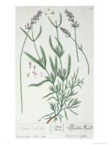 Lavender Spike, Plate from Herbarium Blackwellianum by the Artist, 1757