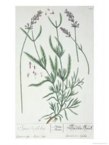 Lavender Spike, Plate from Herbarium Blackwellianum by the Artist, 1757