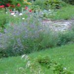 lavender_walk