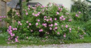 Therese Bugnet Shrub Rose