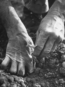 Farmer's Strong, Work Toughened Hands Planting in the Garden by Ed Clark