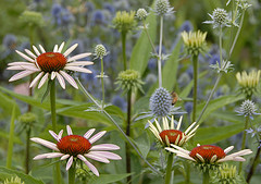 Coneflowers and eryngium