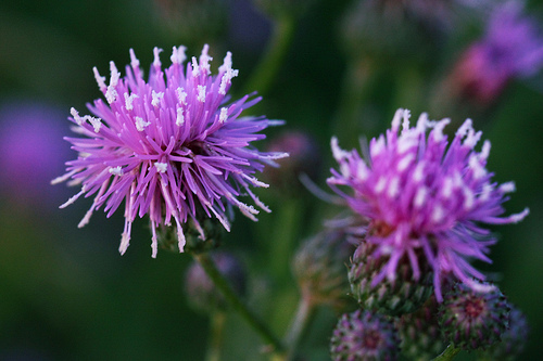 Canadian Thistles, Are They The Bane Of Your Garden?