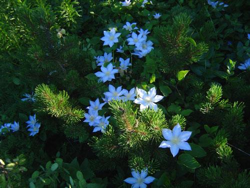 Plant Fads: Mugo Pines and Stella D'Oro Daylilies