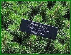 dwarf pine