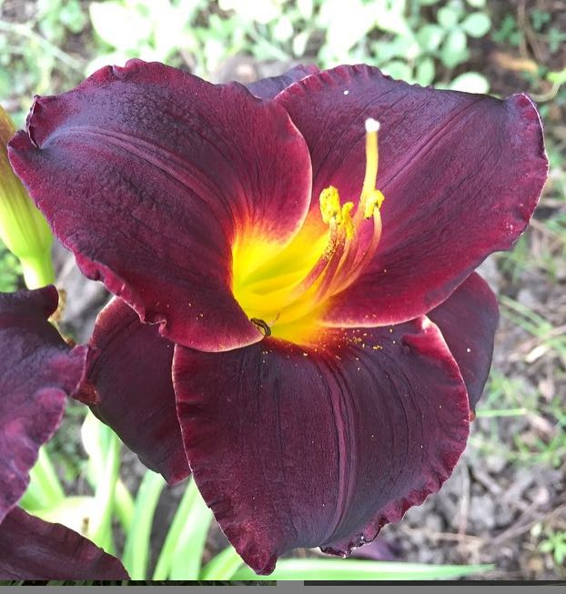 Daylilies Grow On You