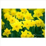 50 Large Yellow 'Tamara' Daffodil Flower Bulbs