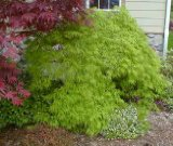 Weeping Japanese Maple Viridis 2 - Year Graft