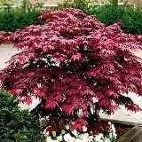 Japanese Red Maple Tree (2-3 feet tall in full gallon containers)