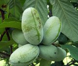 "Paw Paw Trees - Banana fruit - Asimina triloba - PawPaw - 2 Plants - 3.25"" Pot"