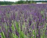 """Lavender Grosso 31/2"""" Size (8 Live Plants)"""
