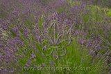 L.xi. 'Hidcote Giant' Live Lavender Plant