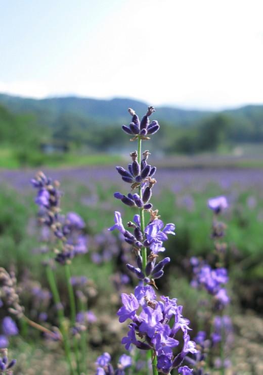 flowers-of-lavandula