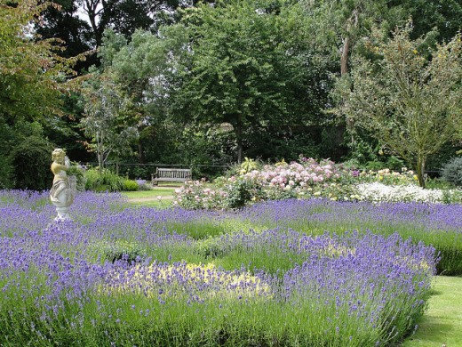 Fragrant lavender beds in a formal garden. Use all of one variety for uniformity.