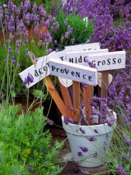 How to grow lavender for its heavenly scent home garden companion - Growing lavender pot ...