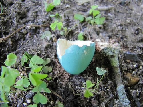 eggshell in garden