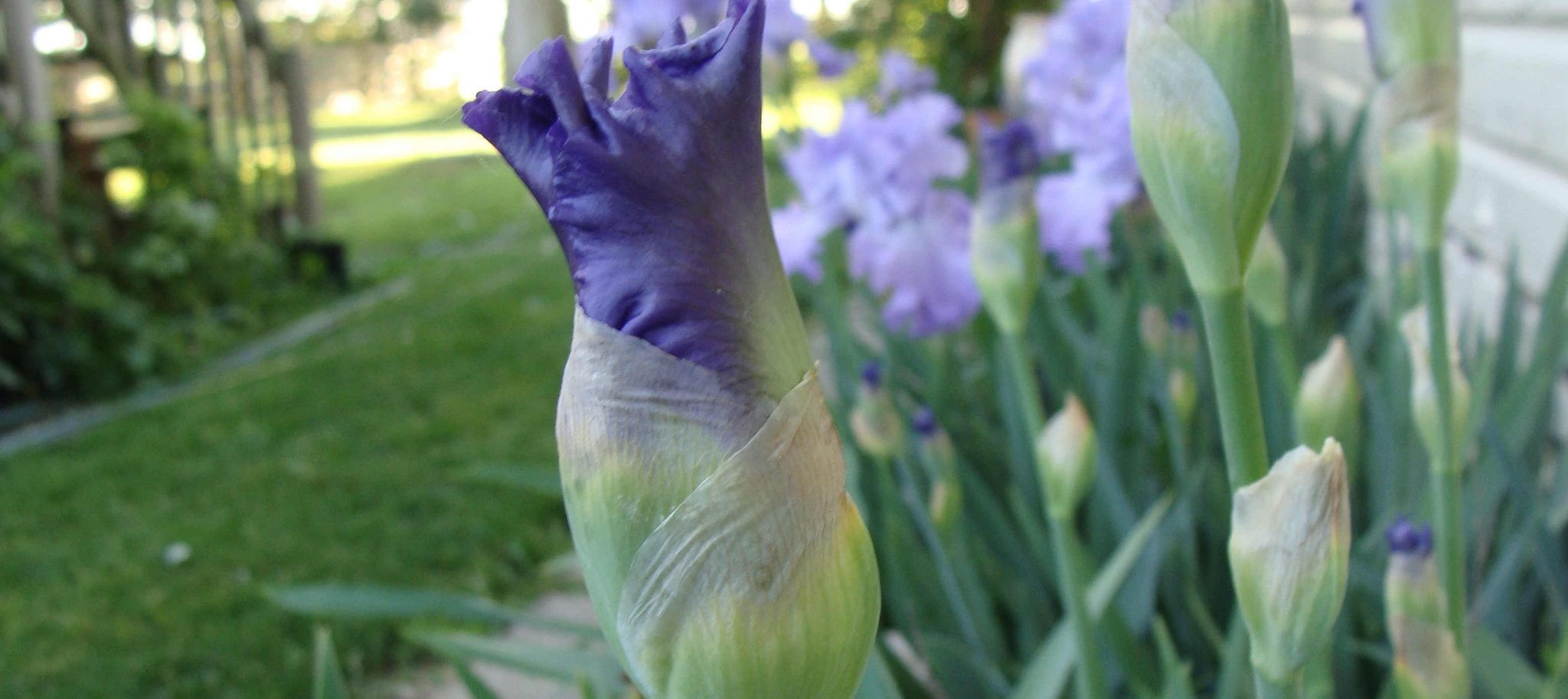 Flowers Of May: Bearded Iris