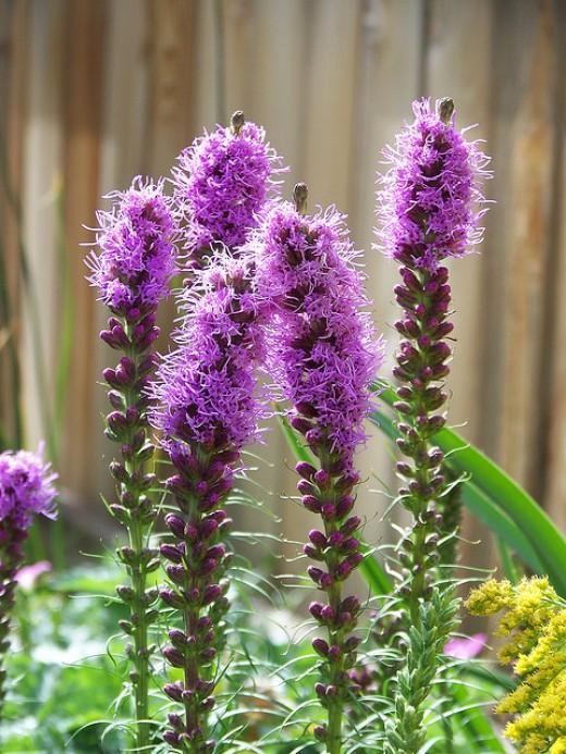 Prairie flowers bloom in midseason summer months.