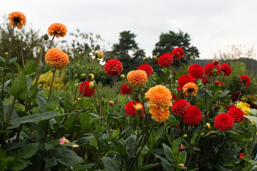 hot colored dahlias