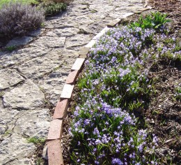 Chionodoxia along a path