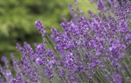 Lavender is the right choice for so many reasons: flowers, usefulness, fragrance.