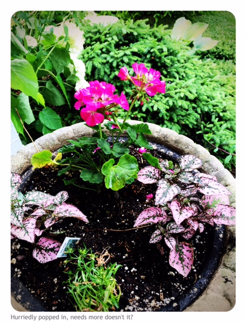 Flower container with Rose geranium and Polka Dot plants