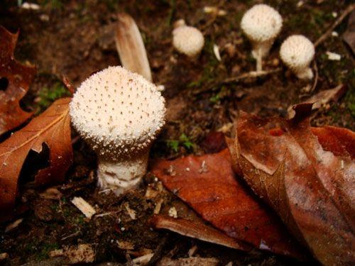 Wild Button Mushrooms
