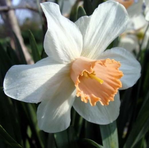Pinkcup daffodil