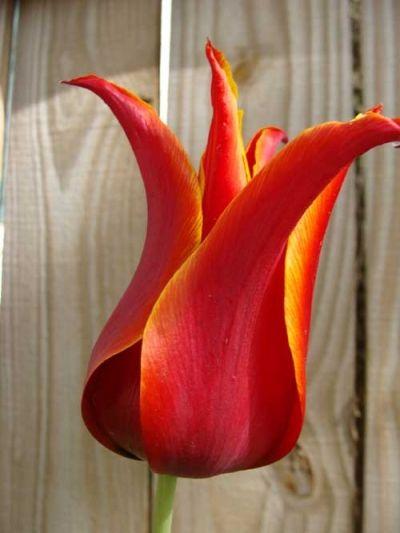 Red Lily Tulip 'Aladdin'