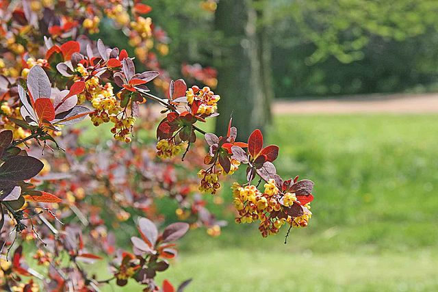 Berberis thunbergii var. Atropurpurea brings color contrast into the spring palette