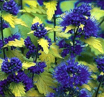 Golden Caryopteris