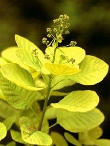 Golden Coggyria leaf