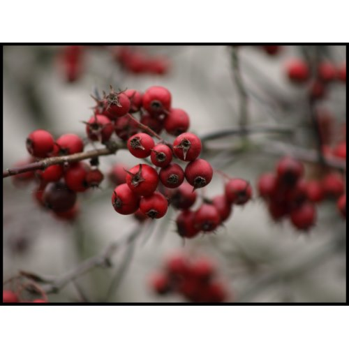 Winter berries bring much needed color to the landscape and stand out all the more. Additionally they attract birds .