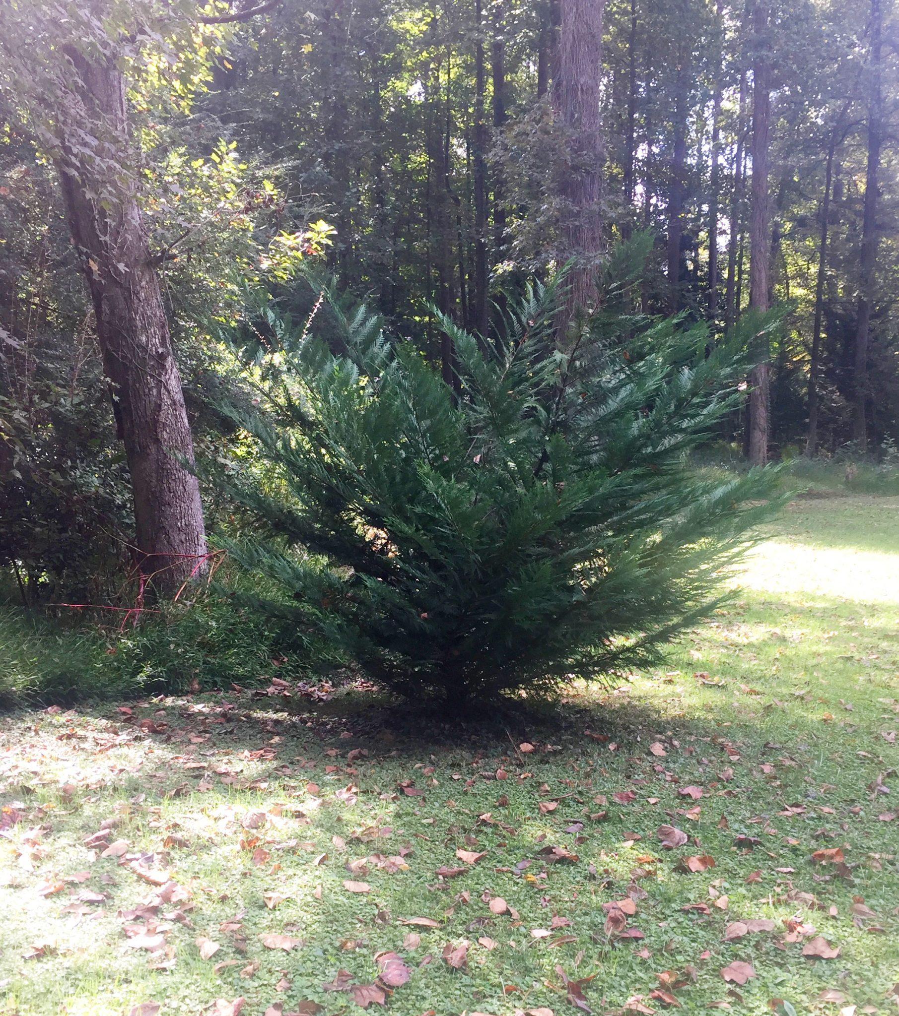 Evergreen in Atlanta